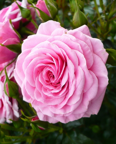 rosa.Rose