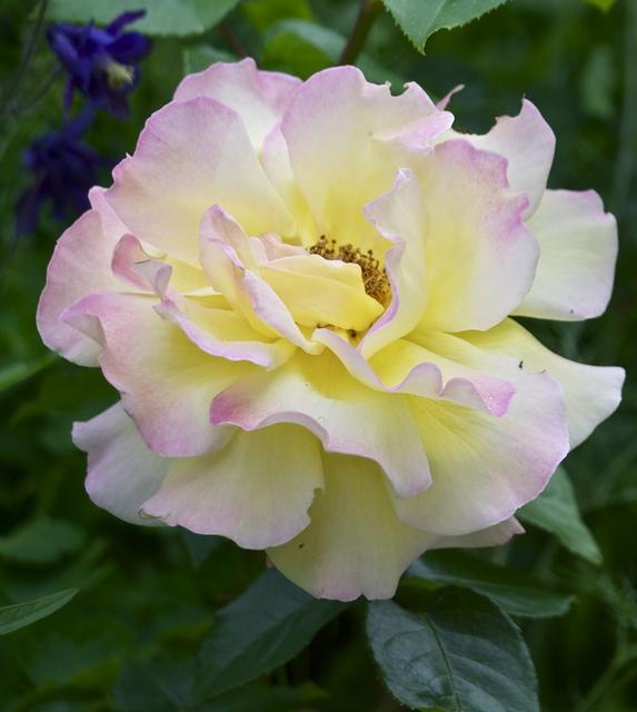 Rose.weiß